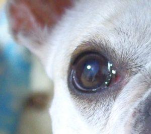 犬の白内障 初期状態