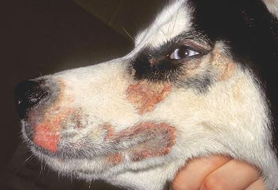 アレルギー体質の犬、犬のアトピー