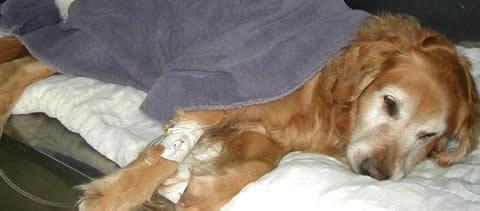 犬の慢性心不全用薬「ベトメディン」 効果と副作用は?